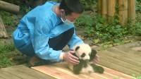 不会坐的熊猫宝宝,被饲养员强势教学,下一秒千万憋住别笑
