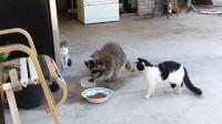 猫咪正在吃饭,突然来了一只神秘物种,下一秒憋住别笑