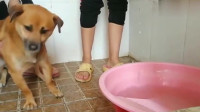 萌宠:中华田园犬以为自己要被下锅了,看到盆里的水慌了,立马就想逃