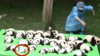 饲养员把小熊猫当白菜晒,其中有一只格外显眼,网友:我也想养一只!