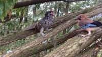 这两只鸟真幸福,每天都有人跑山上喂吃的