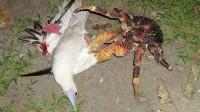 这螃蟹天生神力,铁可以夹弯,连鸟都会被其捕杀!