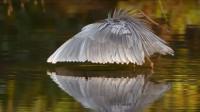这种鸟竟然学会了人类的手段,知道用笼子来捕鱼,这怕不是要成精