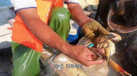 大叔赶海拉渔网,各种靓货拉不停,还捕到只肥得流油的陈年母膏蟹!