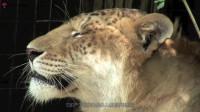 它是狮子老虎的杂交种,体型比父母还要大几倍,性情凶猛难以捉摸