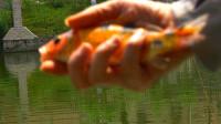 【野钓很好玩】 004:锦鲤来过之后还有鲤鱼
