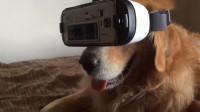 铲屎官给宠物戴上VR眼镜,体验虚拟世界,喵星人承包我一年笑点!