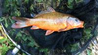 【野钓很好玩】008:花地河支流钓到金红色鲤鱼(加长版)