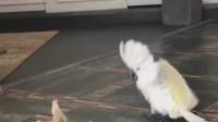 这小鹦鹉相当嘚瑟,当众调戏大猫就喜欢在挨打的边缘疯狂试探