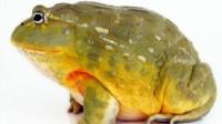 怪兽来了1期.巨型青蛙曾以恐龙为食 尖牙利爪毁三观