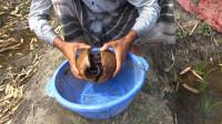 村民用椰子做陷阱,打开椰壳后,惊喜来了!