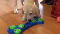 狗狗:这是什么玩具,我怎么不会玩呢