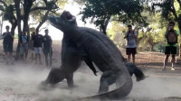 摄影师拍到2只科莫多巨蜥决斗,打斗激烈,场面热血沸腾