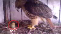 有人將雞蛋放入老鷹的窩,等孵化出來后,老鷹的反應請忍住不要笑