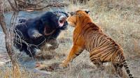 兇猛老虎大戰黑熊,老虎不敵黑熊最終落敗,場面激烈難得一見