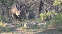 雄獅睡得正熟,不料犀牛緩緩走來,下一秒,請憋住別笑