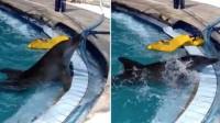 心痛!两海豚被关酒店15年终获救 一只失明 一只精神异常