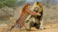 如果狮子和老虎决斗一场,最后谁会赢?结局让人出乎意料!