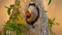鸟儿为了有个温暖舒适的家,编织起了美丽的鸟窝!