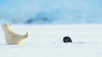 #北极熊# 啊啊啊可爱坏了!北极熊宝宝被突然钻出来的海豹吓到