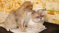 猫爸给小猫生动诠释了什么叫稳重~