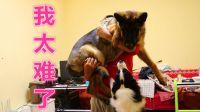 给狗狗称体重却打翻了醋坛子,边牧:不想看,我不是猪。德牧:别抱它,抱我!