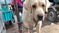 拉布拉多幼犬要2万一只,对不起打扰了....