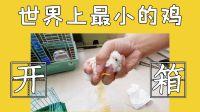 开箱世界上最小的鸡