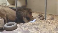 雄狮第一次见到自己的宝宝,雄狮:你也太可爱了吧!我的孩子!