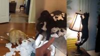 搞笑小视频:不会拆家的猫不是一只好狗
