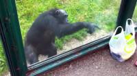 猩猩太可爱了!竟伸手问游客拿饮料喝