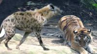 老虎和鬣狗相遇,会擦出怎样的火花?老虎:小鬣狗竟敢虎口夺食