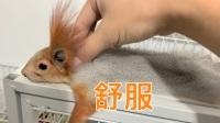 【松鼠马杀鸡】给宠物松鼠按摩,满脸享受