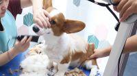 柯基第一次去宠物店洗澡,感染皮肤病,被迫全身剃毛。。。。