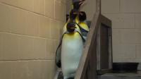 七只企鹅下楼梯,最后一只才是真正的高手,网友:它只是离线了