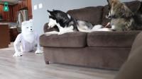 主人假扮成狼恶搞哈士奇,接下来狗子的反应,确认是纯二哈!