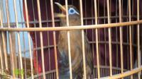 母画眉鸟大叫声,养鸟人喜欢的画眉鸟陪母叫声