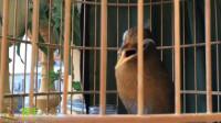 画眉鸟的金嗓子一打开,美妙的歌声飘进耳朵里,让人心情大好