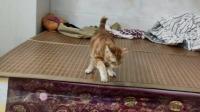 小猫去新家,主人发现的新功能,你怕上辈子不是个壁虎哟