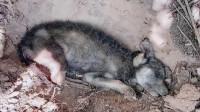 女子在垃圾堆发现一只小流浪狗,由于没有吃的,看上去快奄奄一息了,真是可怜!