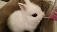 因为我的一个不注意,才一个月大的兔子,去医院缝了九针!