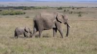 出去觅食,小象受到照顾和宠爱,太可爱了