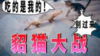 猫咪日记:貂哥哥我怕,别来追我这只可怜的小猫咪!