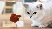 当着5只猫的面给鱼换水,猫以为要洗澡紧张惨了,鱼:有我紧张?