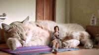 假如世界上真的有这种巨型猫咪,你想不想养一只?
