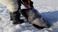 在冰上掏一个大洞,两名老外拉出一条大家伙,寿命可达512年!