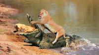 狮子妈妈带幼崽渡河,结果遇到鳄鱼埋伏,整个场面惊心动魄!