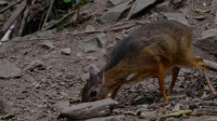 世界上最小的鹿,体型大小可和老鼠相媲美,网友:太可爱了,想养!