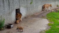 雄狮一巴掌打飞儿子,不料被母狮目睹全过程,下一秒憋住别笑