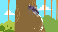 为什么蝉受到惊吓会撒尿?
